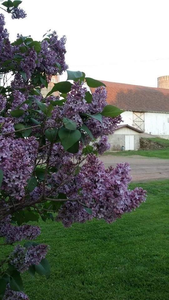 lilac on the farm