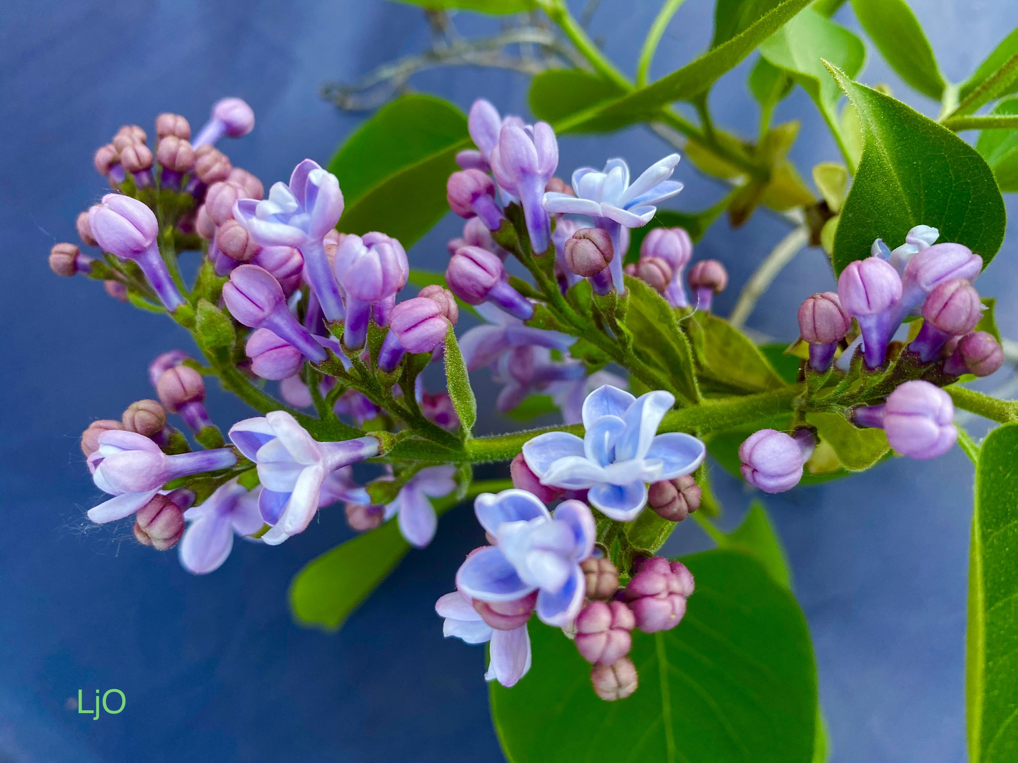 double french lilac in bloom