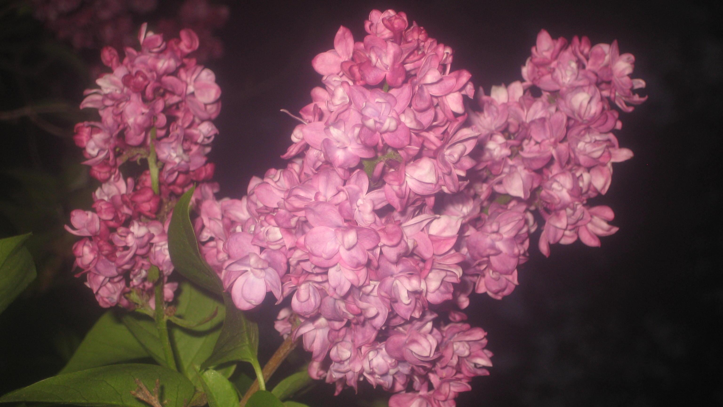 lilacsinbloom