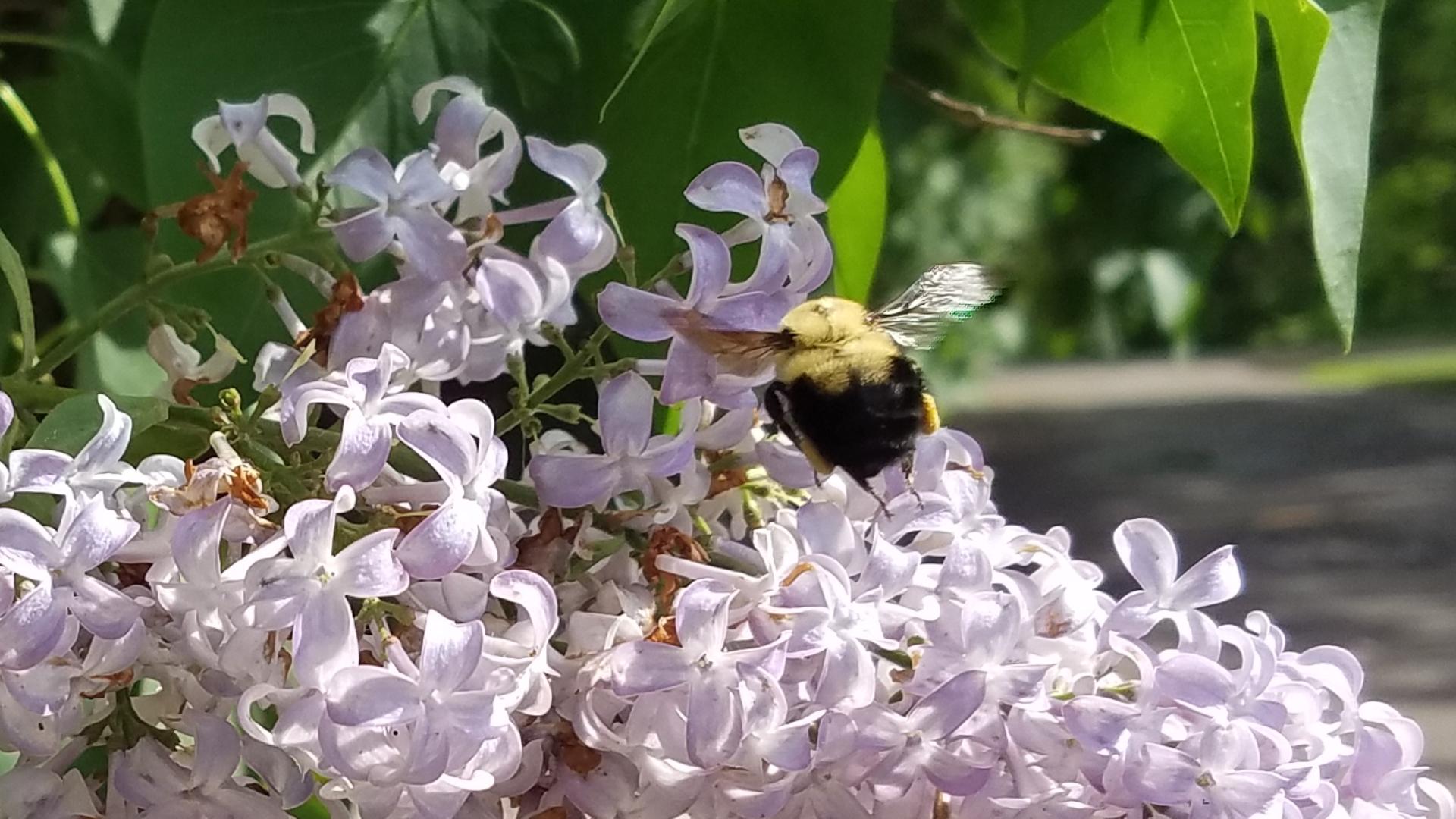 humble bumblebee