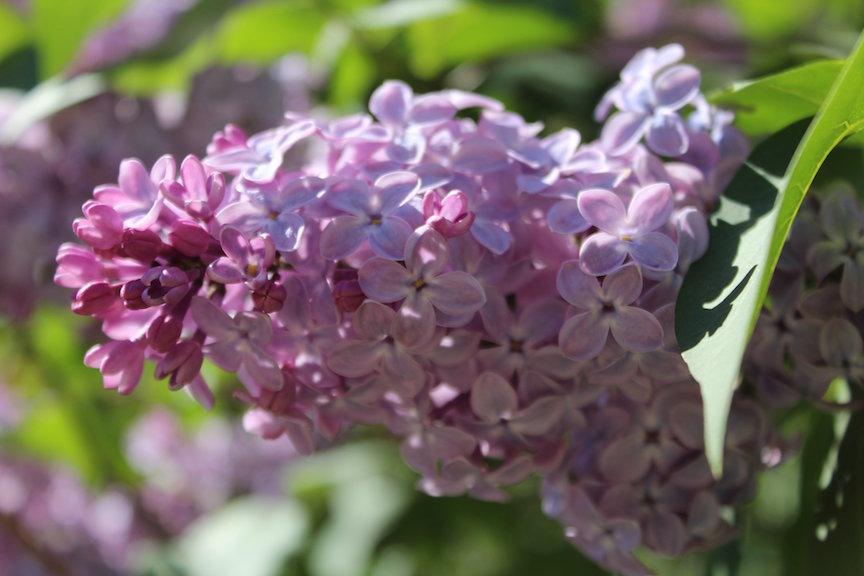 my lilac